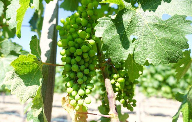 üzüm datça bağ şarap
